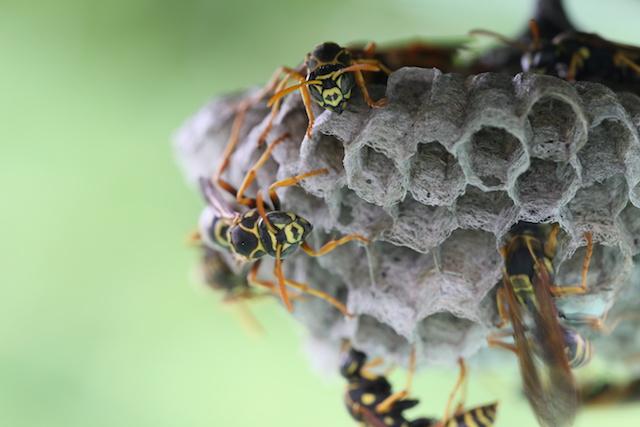 巣をつくるアシナガバチ