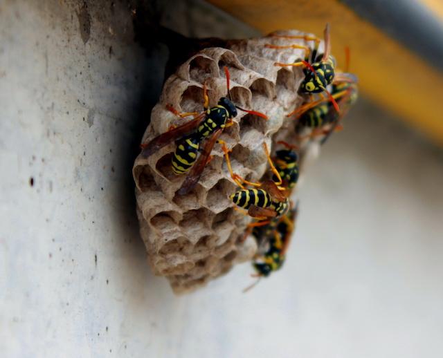 巣を作り始めたハチたち