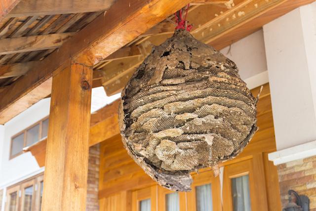 軒先にできた大きな蜂の巣