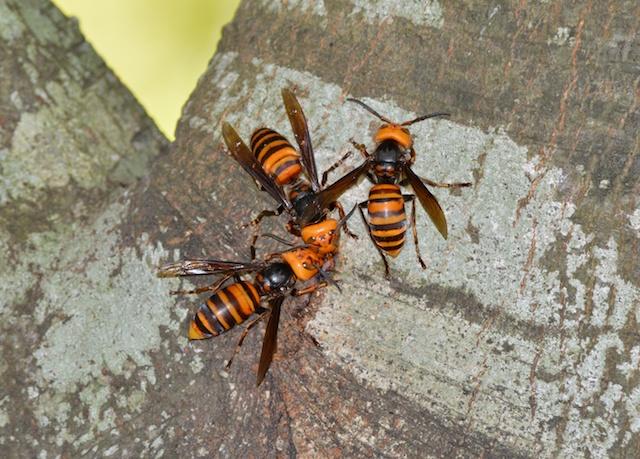樹液に集まるスズメバチ